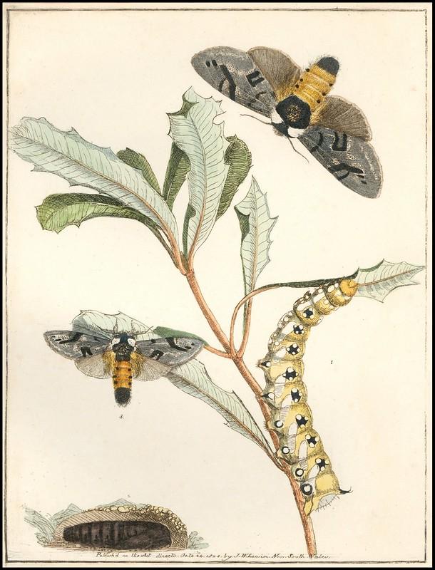 Banksia Beauty (banksia moth – Psalidostetha banksiae) 1803