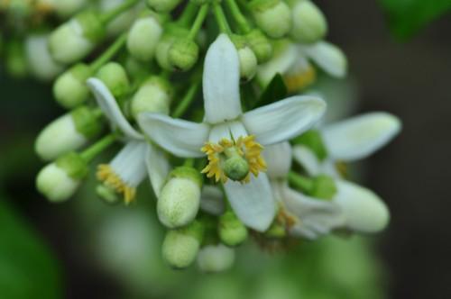 Fleur de pomelo