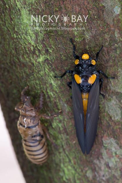 Black and Golden Cicada (Huechys fusca) - DSC_8926