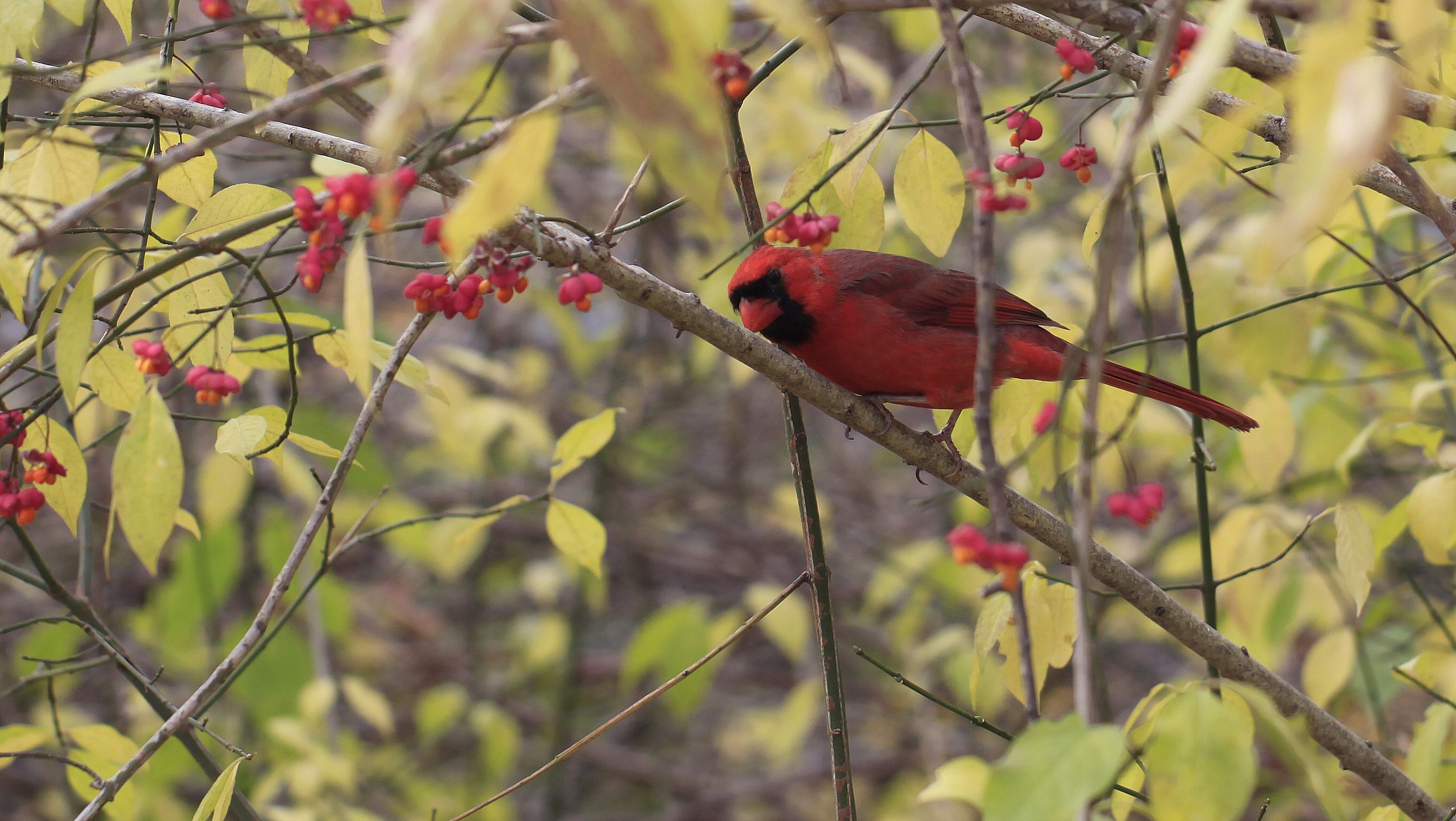 cardinal with spindleberries