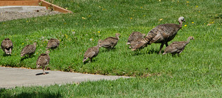 Wild Turkeys_7004