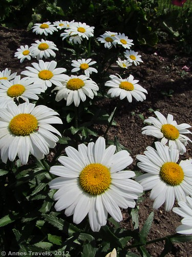 Daisies in the Wick Garden, Jockey Hollow, Morristown National Historical Site, New Jersey