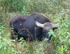 cattle-like mammal, animal, water buffalo, mammal, grazing, fauna, wildlife,