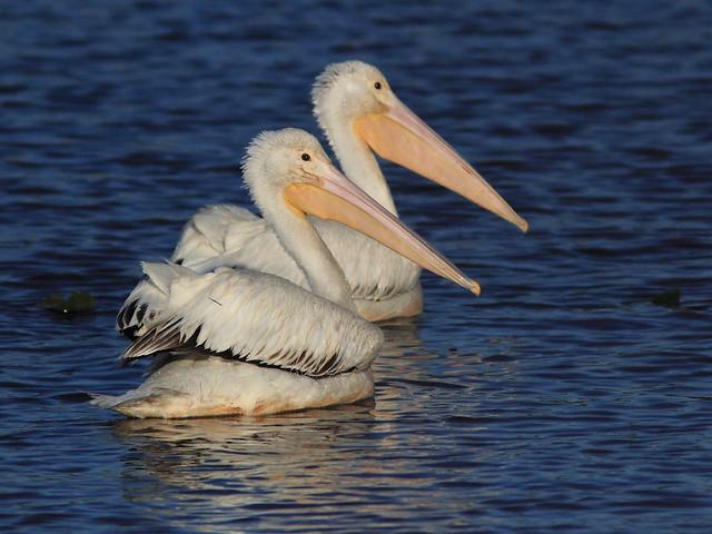 White Pelicans 20121125