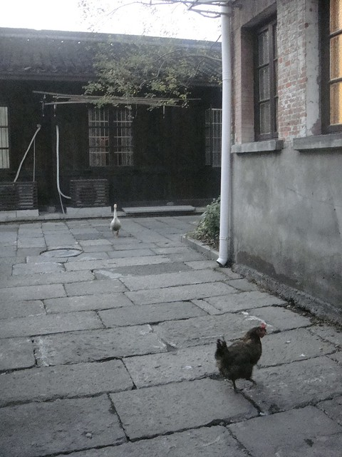 19 放养的鸡鸭,悠哉地溜达