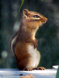 Eastern chipmunk (Tamias striatus)