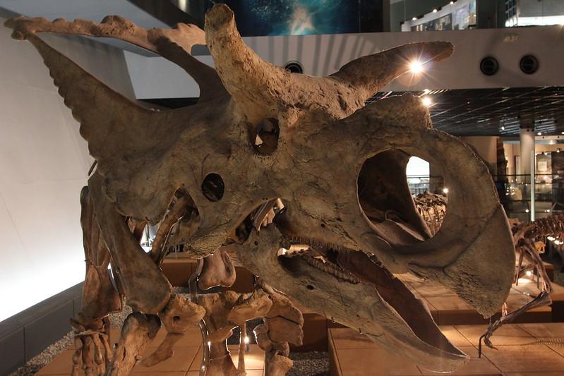 福井県立恐竜博物館 トリケラトプス