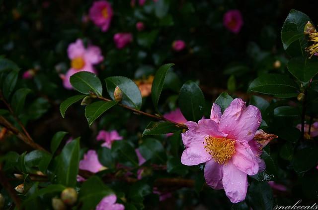 「秋雨に咲く」 室生界隈 - 奈良