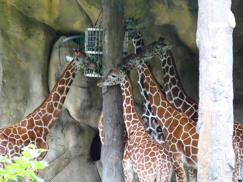 キリン:The Giraffe