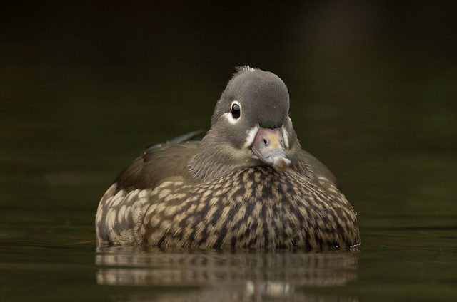 mandarin duck female