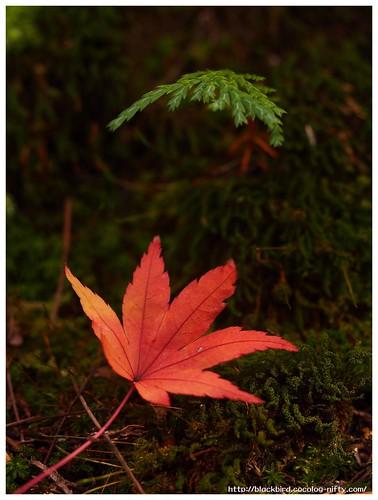 Red Leaves on Tsushima Srine #03