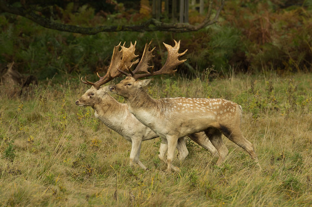 fallow deer bucks sizing each other up