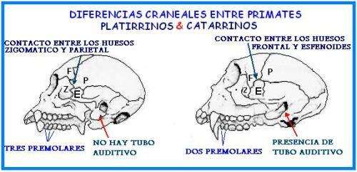 imageDiferencias entre primates platirrinos y catarrinos