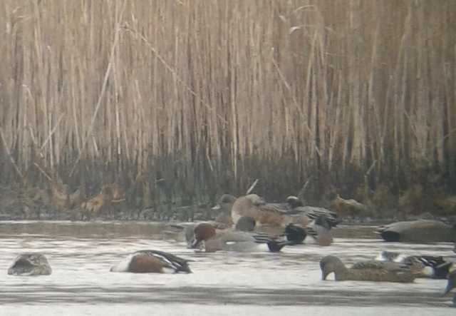 Eurasian Wigeon, Sussex County, DE on 8 December 2012