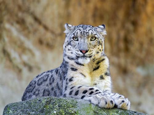 [フリー画像素材] 動物 (哺乳類), 豹・ヒョウ, 雪豹・ユキヒョウ ID:201212131000