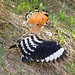 Eurasian Hoopoe (Alan Curry)
