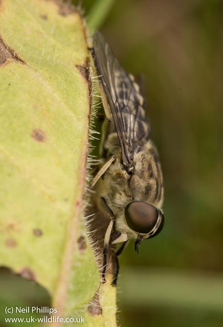 Giant Horsefly Tabanus sp 3