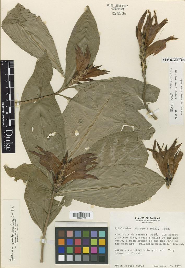 Acanthaceae_Aphelandra leonardii