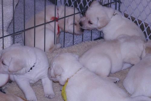 Daisy pups4weeks122