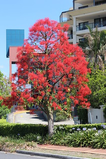 Brisbane, New Farm, Flame Tree IMG_3878