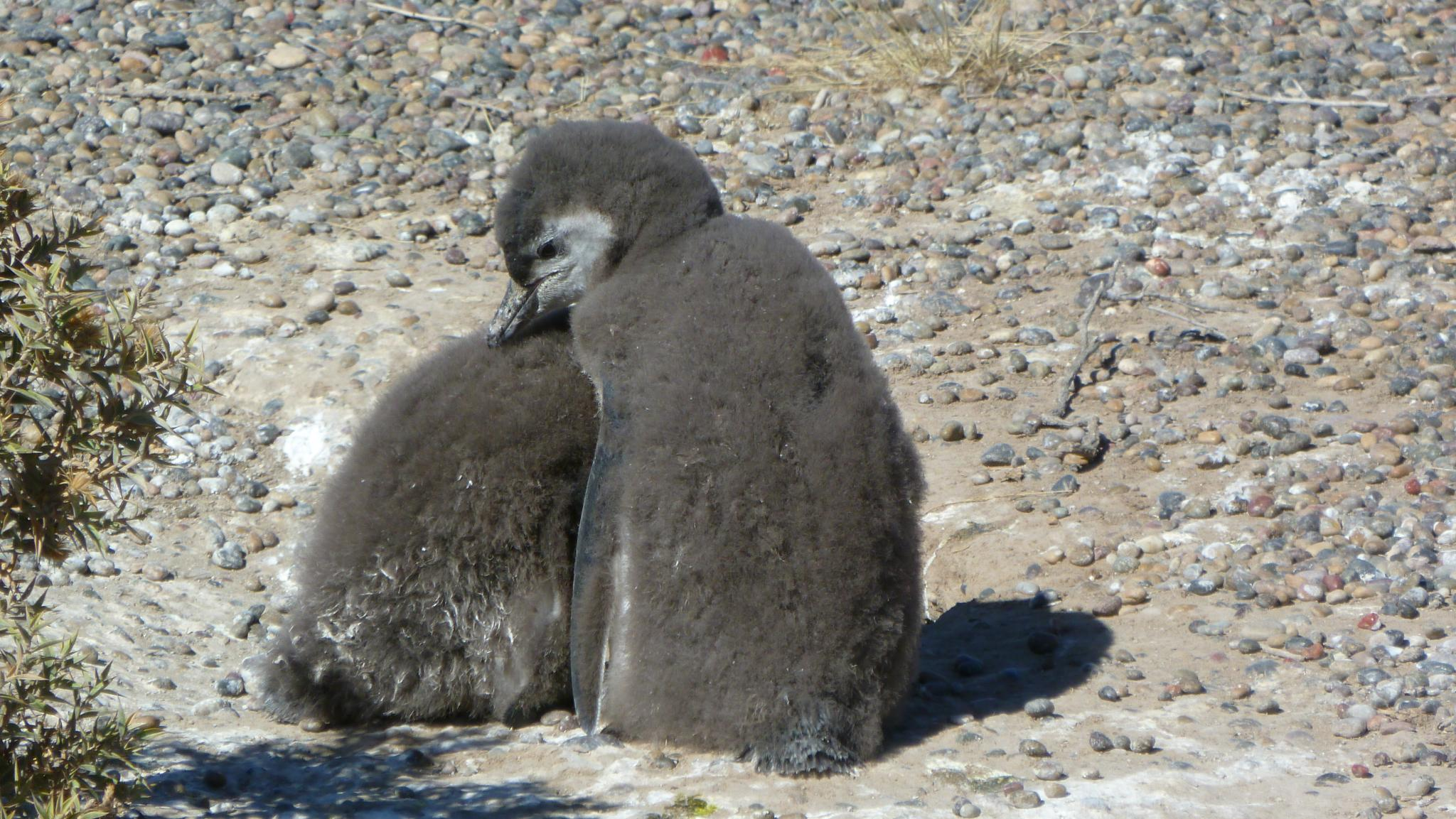 Penguin toddlers, Punta Tombo, Argentina