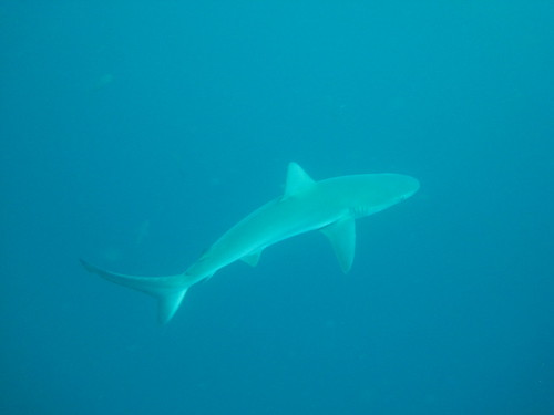 The Galapagos shark