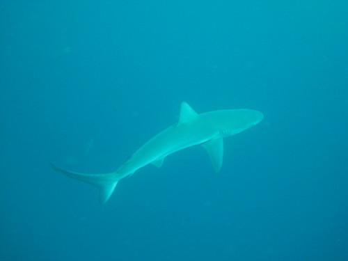 The Galapagos shark
