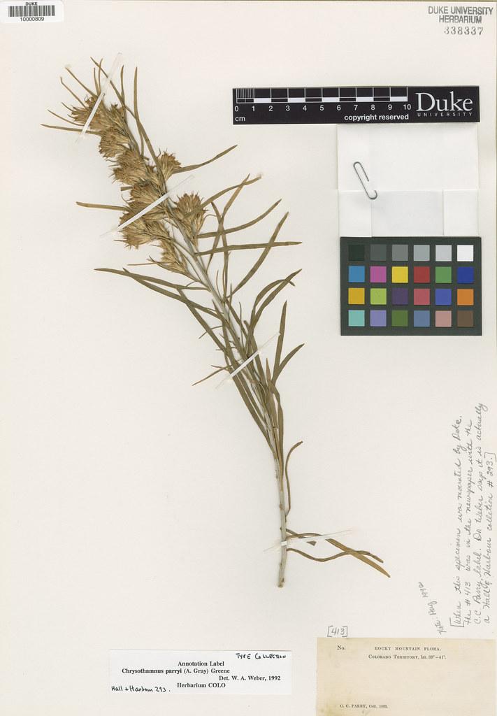 Asteraceae_Linosyris parryi