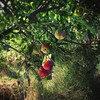Allotment Apples by peterphotographic
