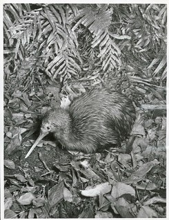 North Island Kiwi probing for worms in the leaf mould