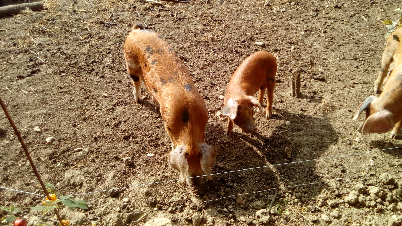 Piggies No Countyfile representatives or BPA members on the walk, but perhaps these could be Oxford Sandy and blacks?