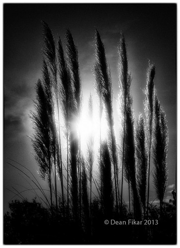 grass silhouette texas unitedstates sunburst fortworth pampasgrass starburst