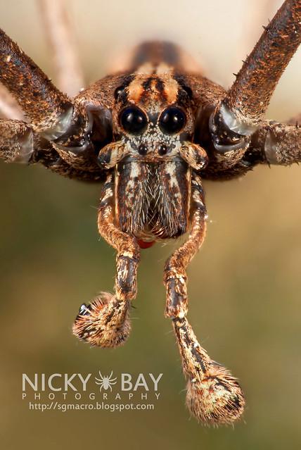 Net-Casting Spider (Deinopidae) - DSC_6139