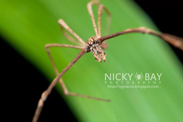 Net-Casting Spider (Deinopidae) - DSC_6101