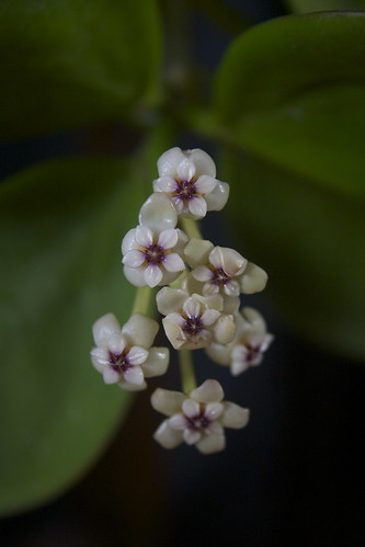 Hoya pachyclada flowers about to drop