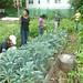 Kale farming