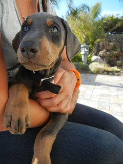 Bali the doberman pincher puppy - 1