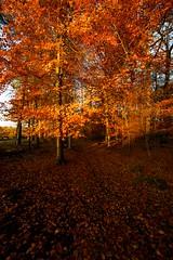 Autumn at Ashridge