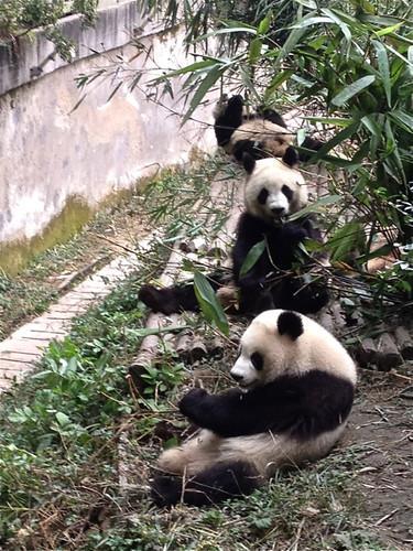 Adolescent pandas