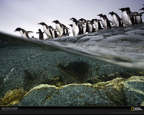 gentoo-penguin-colony-1045595-xl by by The Frog