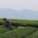 Cueillette du thé dans les montagnes Meng Ding, Sichuan
