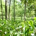 Wah Garden in Kangra
