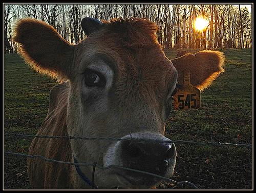 sunset cow milk sundown farm bovine milking bucolic