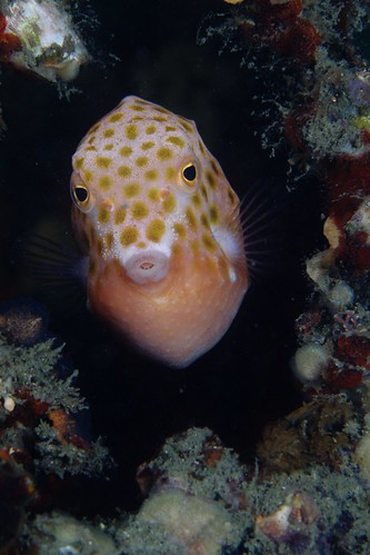 eastern smooth boxfish by Klaus Stiefel