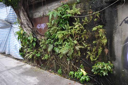 長滿各種綠色植物的磚牆,你可以去算算看有幾種植物長在上面。 王力平攝