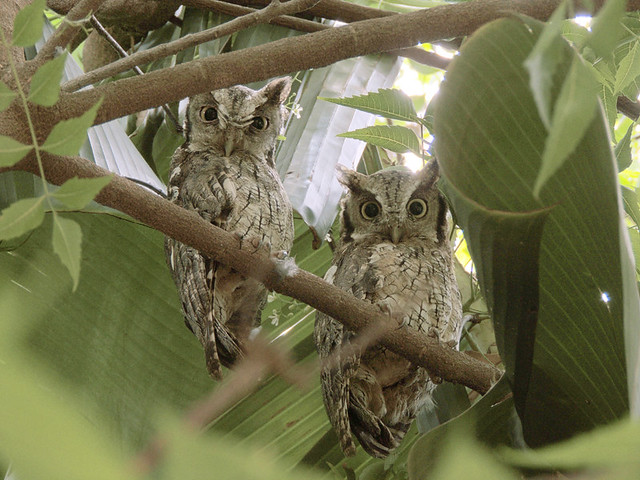 Otus Choliba (Tropical Screech Owl)