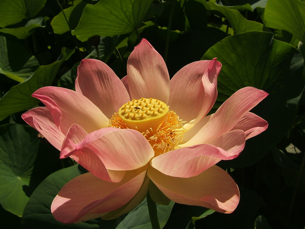 Jens amazing lotus flower research environment institute blog lotus open 1 izmirmasajfo