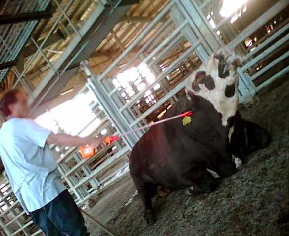 Investigation on Tnuva's slaughterhouse- pictures