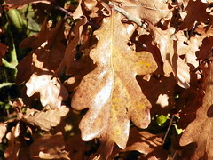 English Oak (Quercus robur) autumn leaf