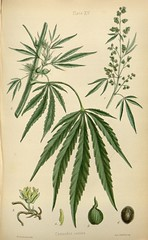 branch, leaf, tree, cannabis, herb, flora, illustration,